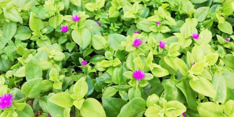 Mesembriantemo  cordifolium