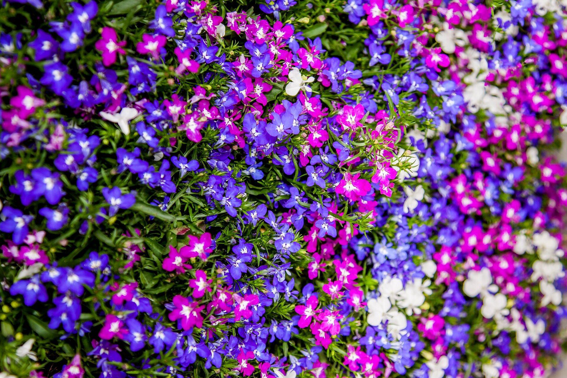 Lobelia come coltivare la pianta che regala una cascata di colori