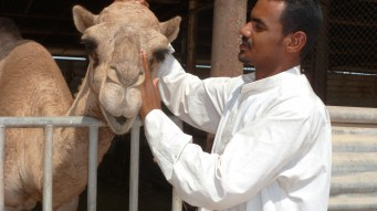Matching faces: A Camel and his Shepherd on Failaka Island in Kuwait - by Anika Mikkelson - Miss Maps
