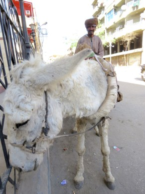 A man and his donkey in Luxor, Egypt - by Anika Mikkelson - Miss Maps