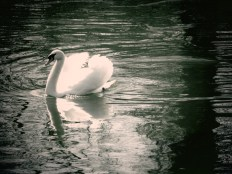 Swan Swimming in St. James's Park outside Buckingham Palace - London, England, United Kingdom - by Anika Mikkelson - Miss Maps