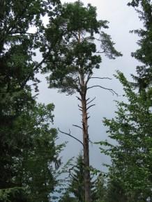 Lone Tree - National Park Belovezhskaya Pushcha - by Anika Mikkelson - Miss Maps - www.MissMaps.com