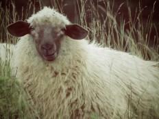 Sheep Close-Ups - Slovakia - by Anika Mikkelson - Miss Maps - www.MissMaps.com