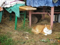 The Family Cat Relaxing in Hay - Northern Estonia - by Anika Mikkelson - Miss Maps - www.MissMaps.com
