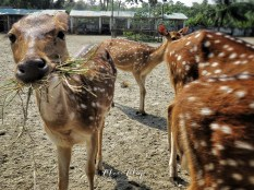 Spotted Deer -Sundarbans of Bangladesh - by Anika Mikkelson - Miss Maps - www.MissMaps.com