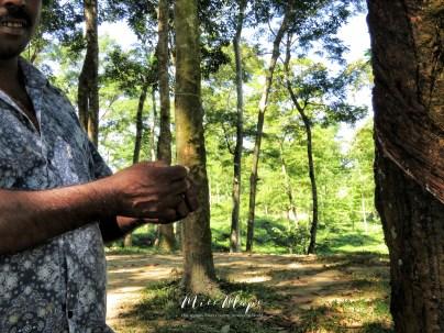 Exploring the Rubber Tree Forest - Sylhet Bangladesh - by Anika Mikkelson - Miss Maps - www.MissMaps.com