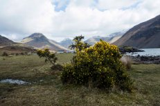 Common Gorse in Wasdale Valley