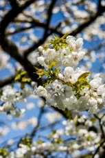 Tree blossoms, Keukenhof Gardens