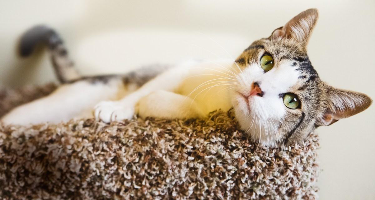 Striking male cat up for adoption through ASAP.