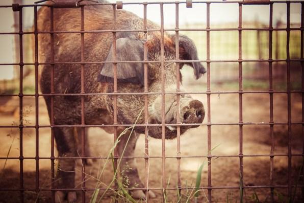Big pig fenced in