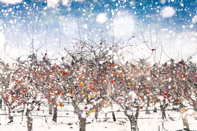 Frozen apples on trees