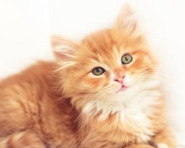 Fluffy Orange Kitten
