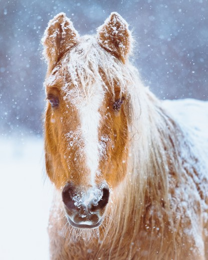 A beautiful horse in a winter snow storm