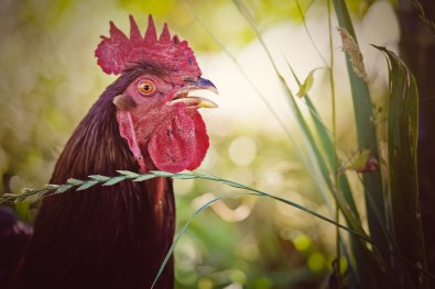 Rooster crowing in the early morning