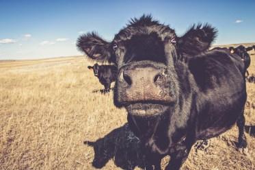 Black Angus cow close up