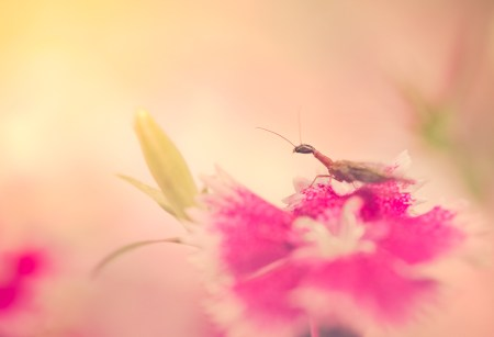 Snakefly resting on a dianthus flower.