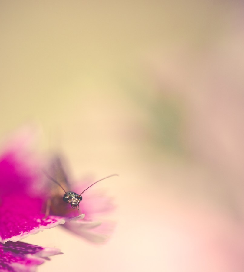Tiny bug (snakefly) peeking out from under a pink dianthus flower petal.