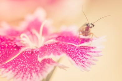 Tiny bug enjoying his day on the pretty petals of a pink dianthus flower.