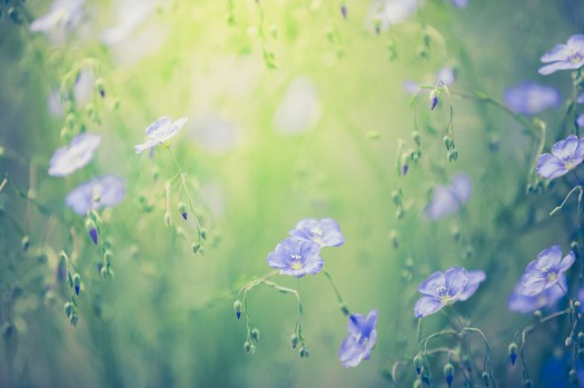 Dreamy flax flower blossoms.