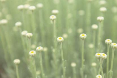 Chamomile In The Herb Garden
