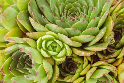 Hens and chicks in the succulent garden