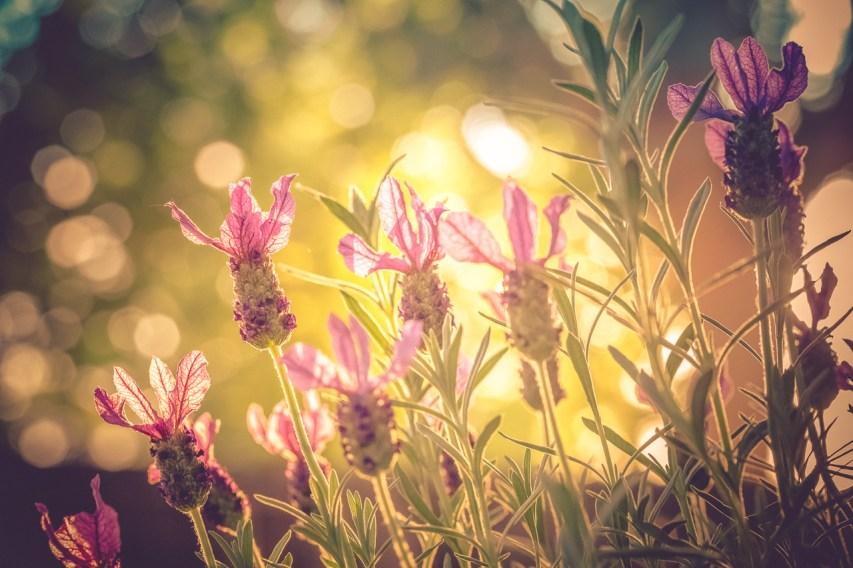 French Lavender & Bokeh