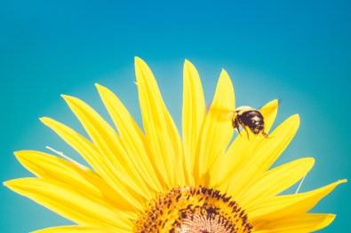 Bumblebee flying into sunflower