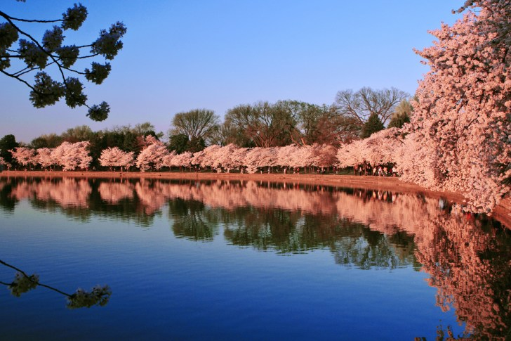 Tidal Basin Cherry Blossoms, Washington DC, United States