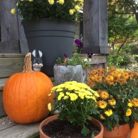 How to Plant a Colorful Fall Mum Planter with Bulbs for Next Spring