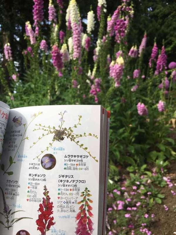 ポケット図鑑植物でジギタリスを調べた_R