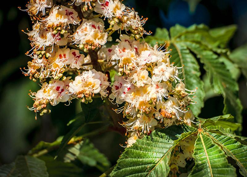 Castanea Sativa (Chestnut) Seed Extract