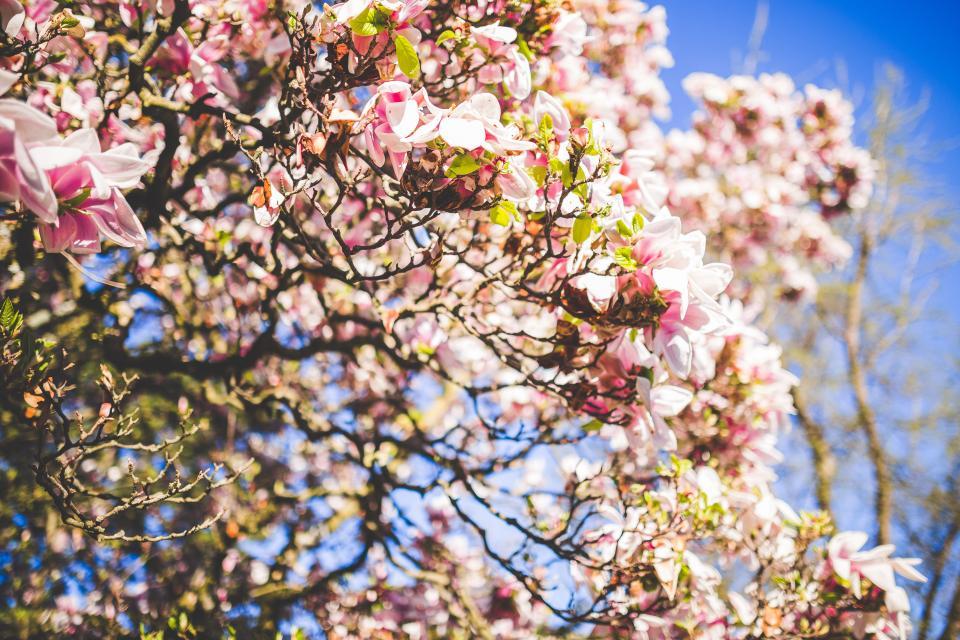 Tree in Bloom in springtime