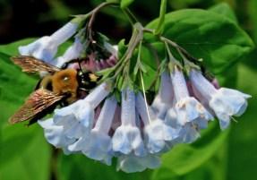 Bee on whitishbluebells