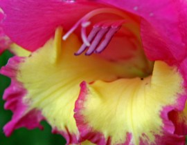 mouth of gladiola