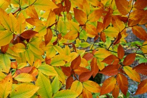 beech leaves in fall
