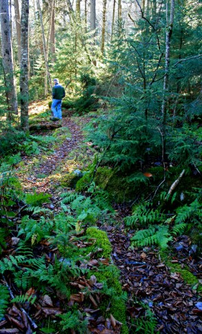 moss lined path in spruce forest