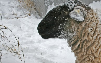 sheep detail