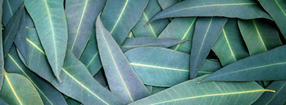 Bright gum leaves laying together, back ground for gift certificate