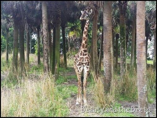 Giraffes Wild Safari Disney Animal Kingdom Beauty and the Beets