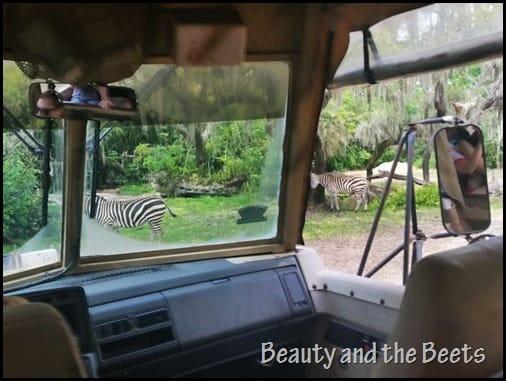 Zebra Disney Animal Kingdom Wild Safari Beauty and the Beets