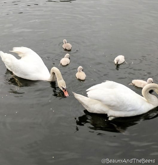 two adult white swans with 5 baby swans next to them in a lake