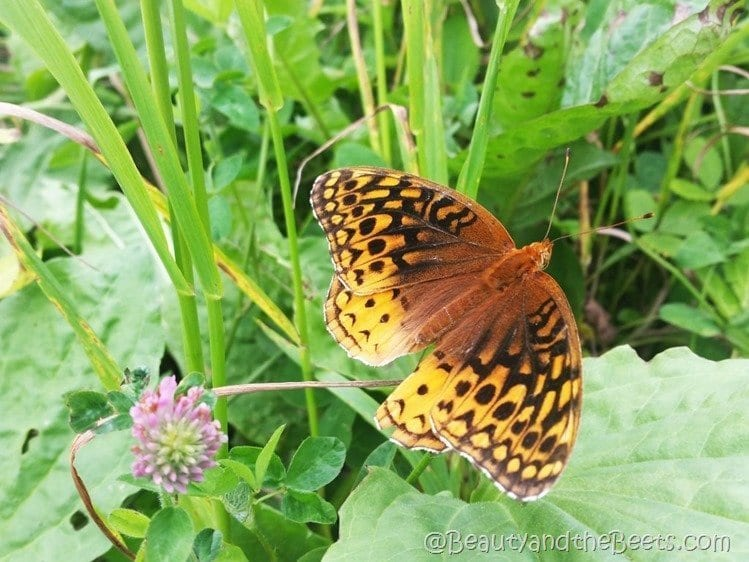 Clingmans Dome butterfly Beauty and the Beets