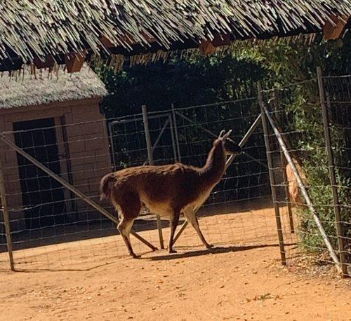 Llama - Colchester Zoo
