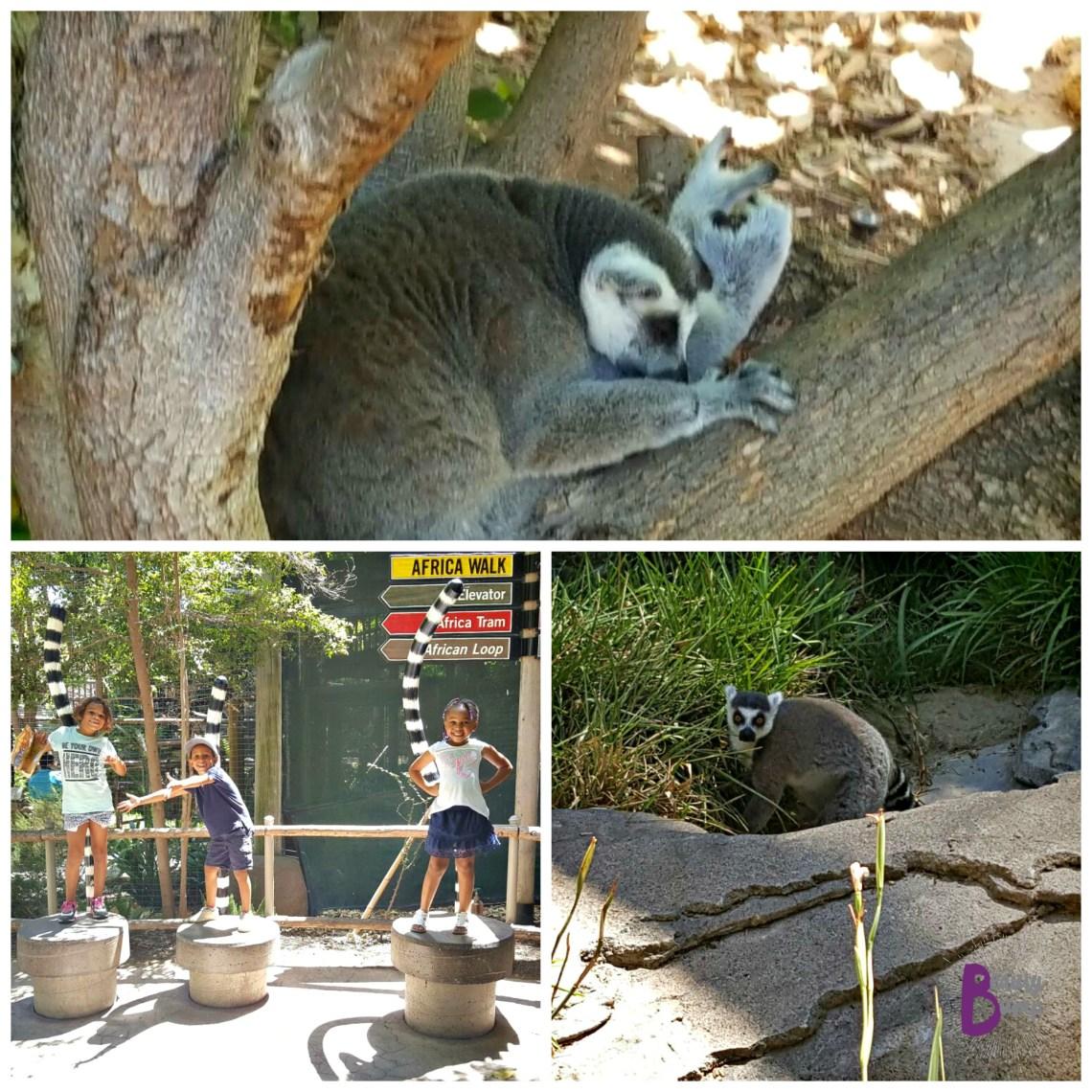 San Diego Zoo Safari Park Lemur Walk