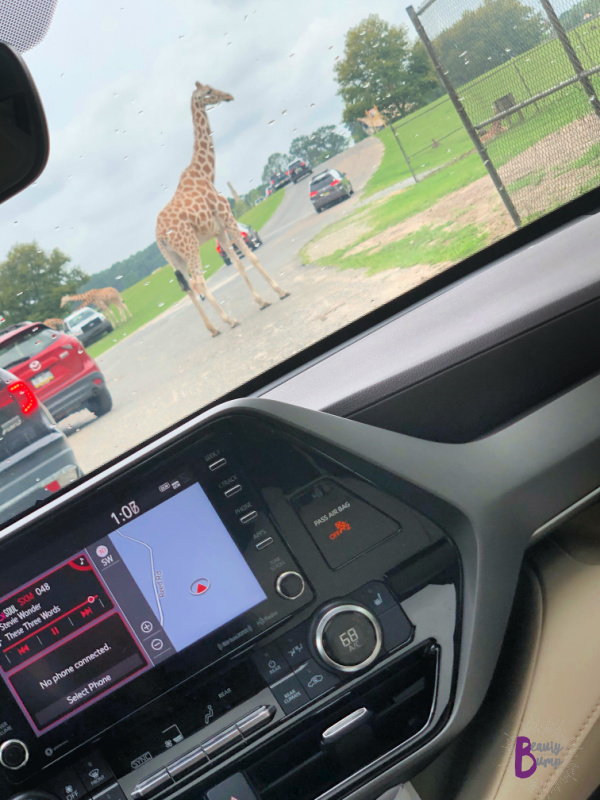 Like me, she enjoyed the moonroof, especially once we arrived at the Safari Park. It allowed her to experience the Safari in full. Hello, Giraffes and friends.