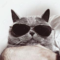 14978456-Funny-muzzle-of-gray-British-cat-in-sunglasses-closeup--Stock-Photo