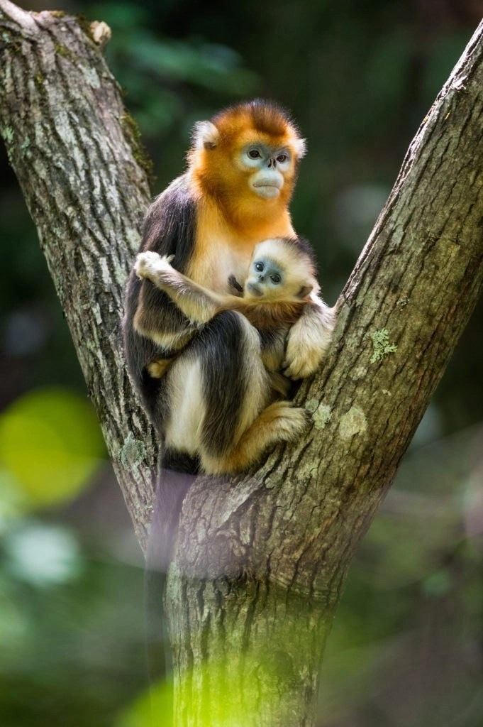 Golden Monkey Mom and Baby