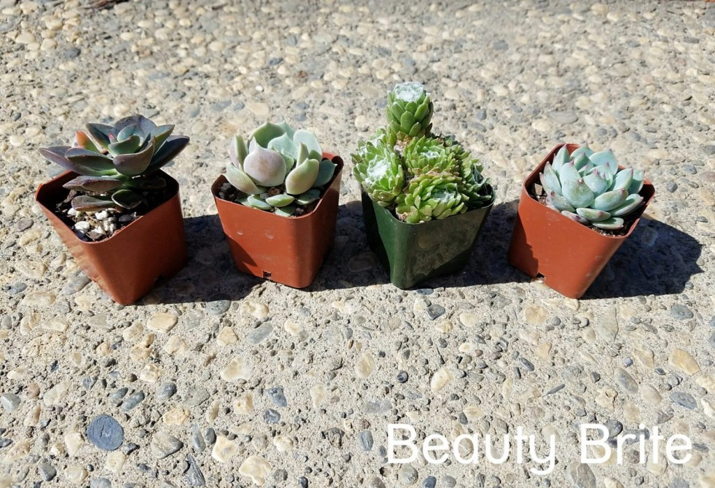 Succulents Box 4 plants