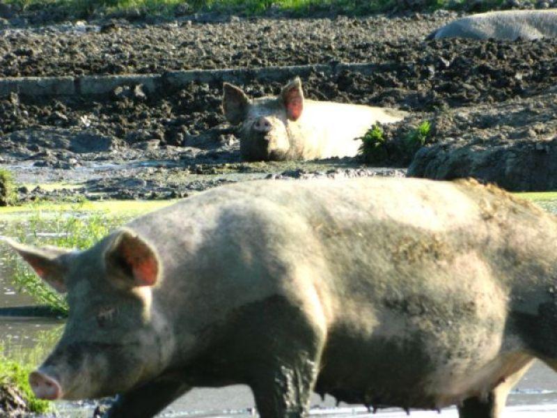 2 varkens