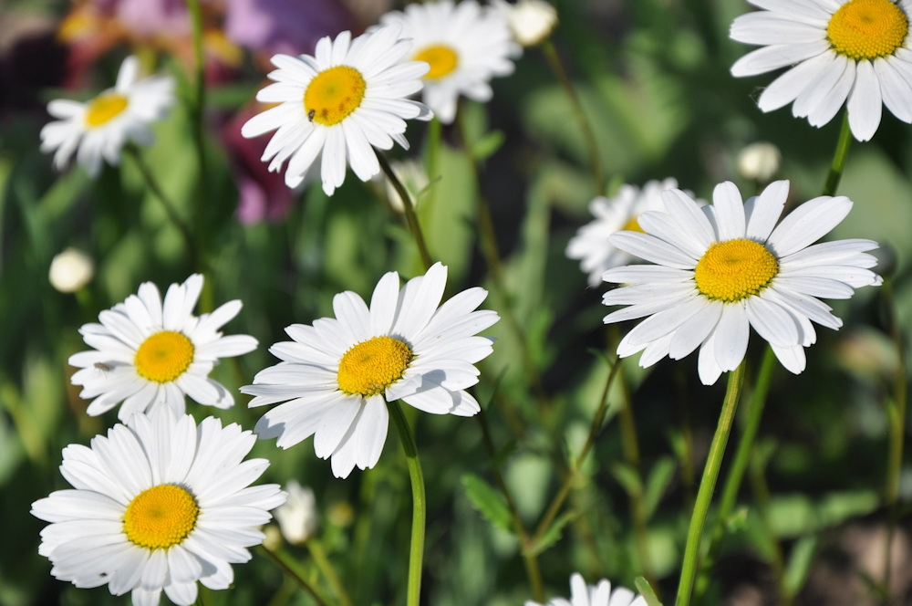 herbs for baths - soothing chamomile
